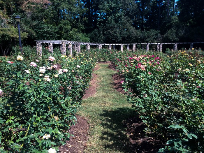 Raleigh rose garden the vogue voyager for Raleigh little theater rose garden